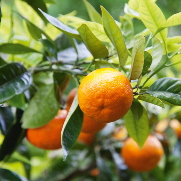 Citrus Aurantium: grown for its bitter fruit, used to make marmalade